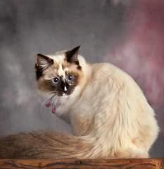 Ragdoll Cat Breed Profile 1