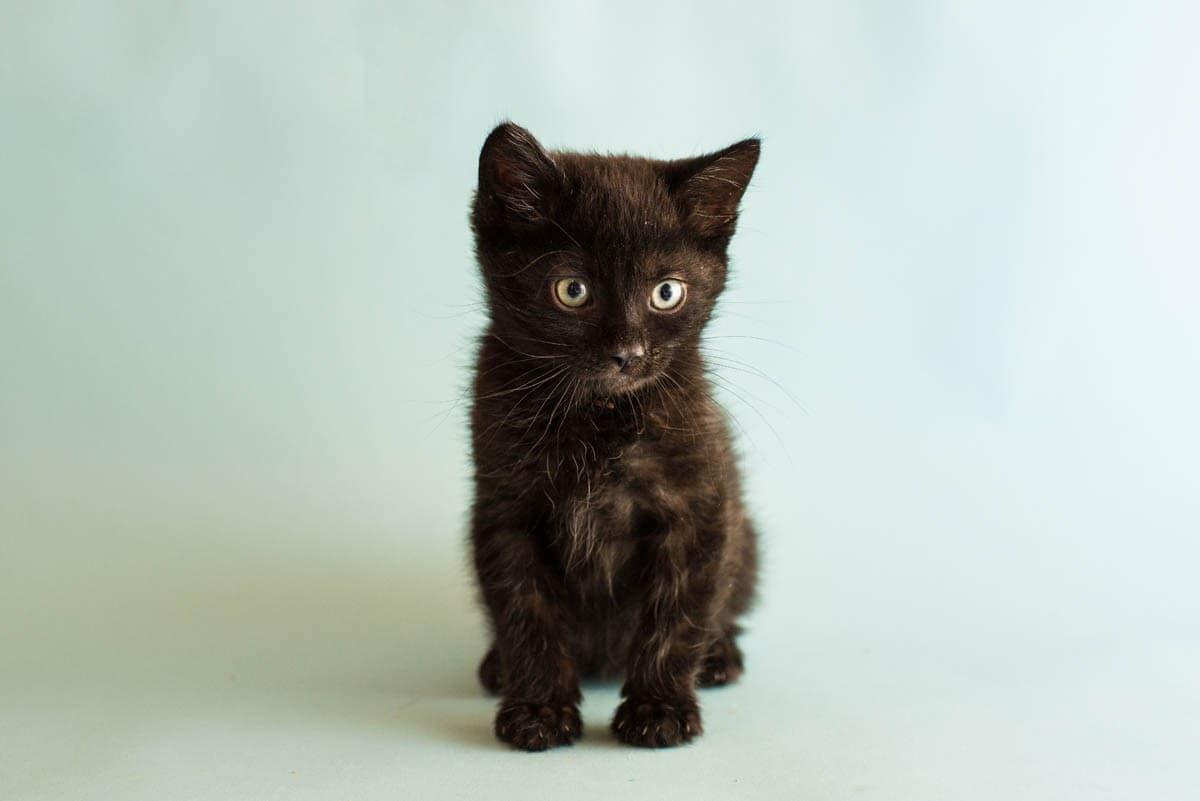 Seven week old kitten