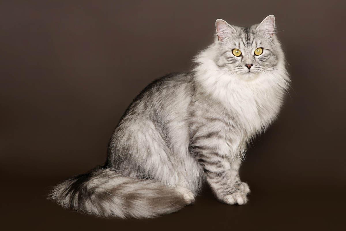 Silver tabby Siberian cat