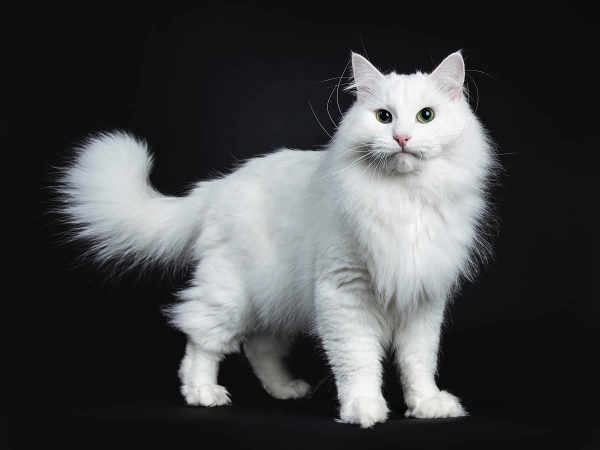 Siberian cat breed profile
