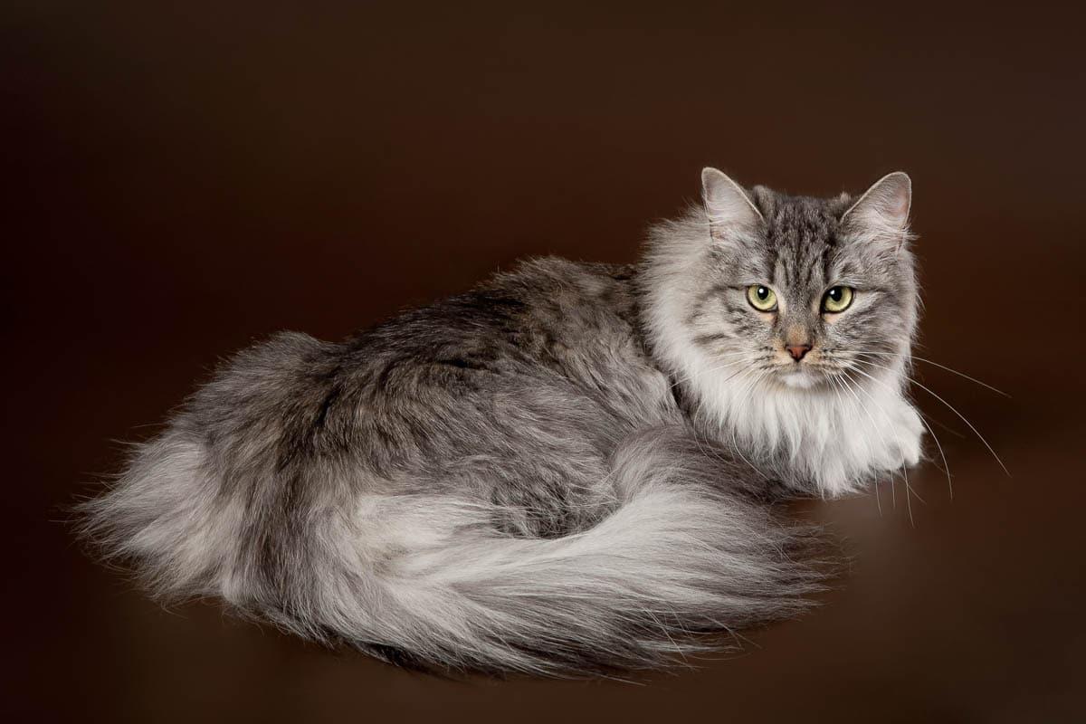 Silver Siberian cat