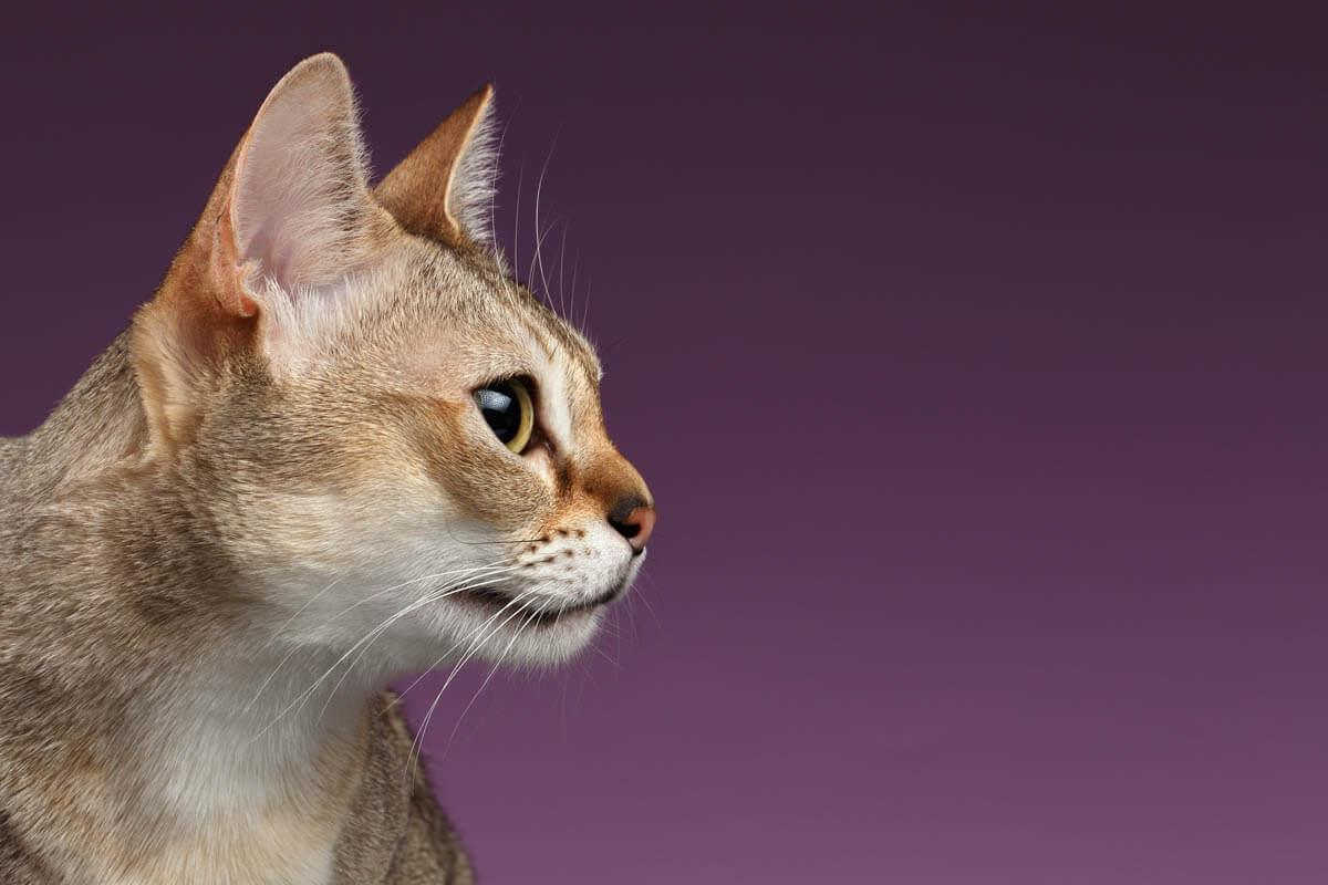 Singapura cat breed profile