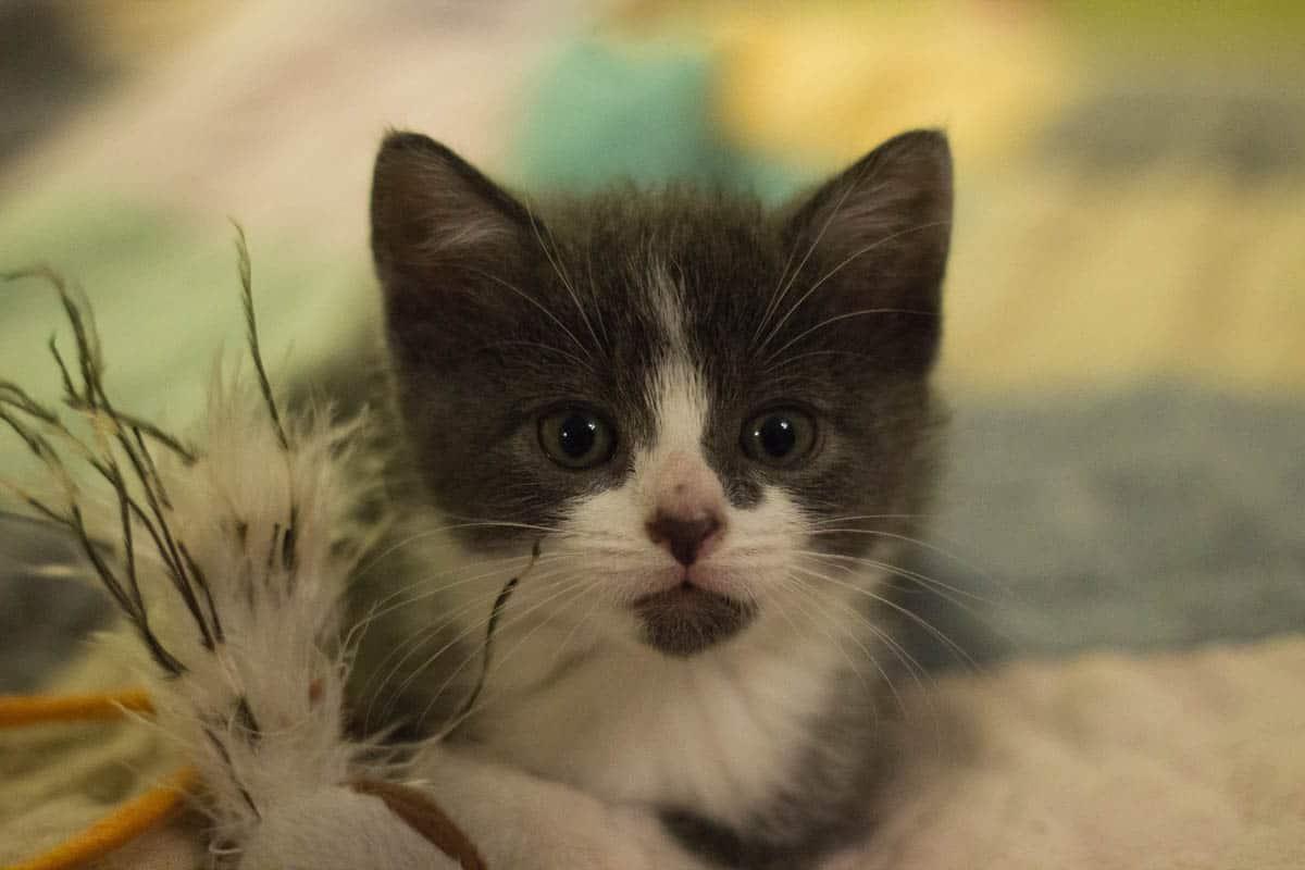 Six week old kitten