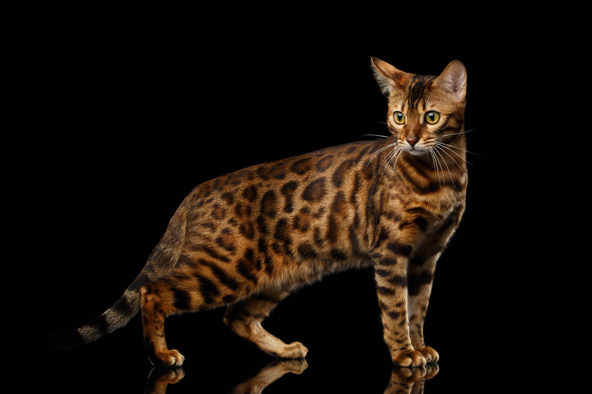 Spotted Bengal cat
