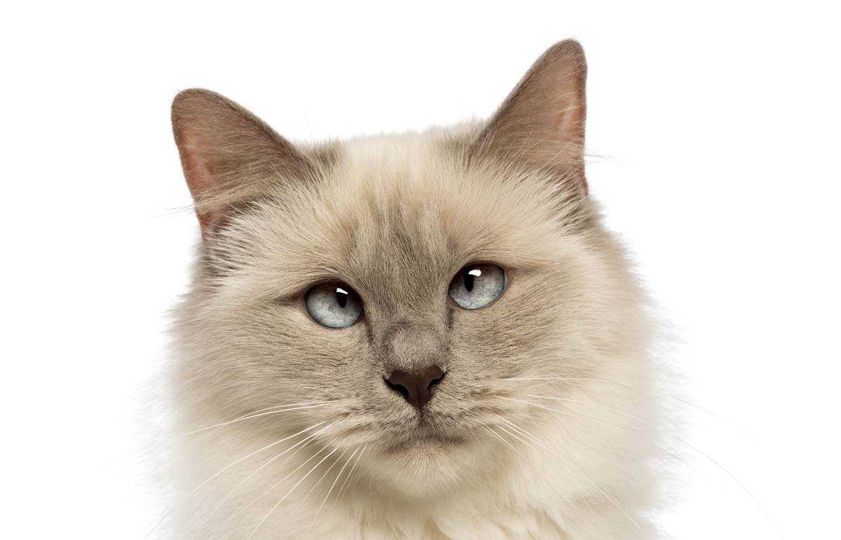 Strabismus in a Birman cat