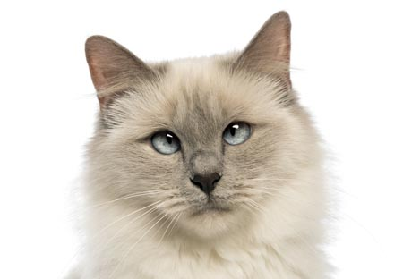 Strabismus in cats