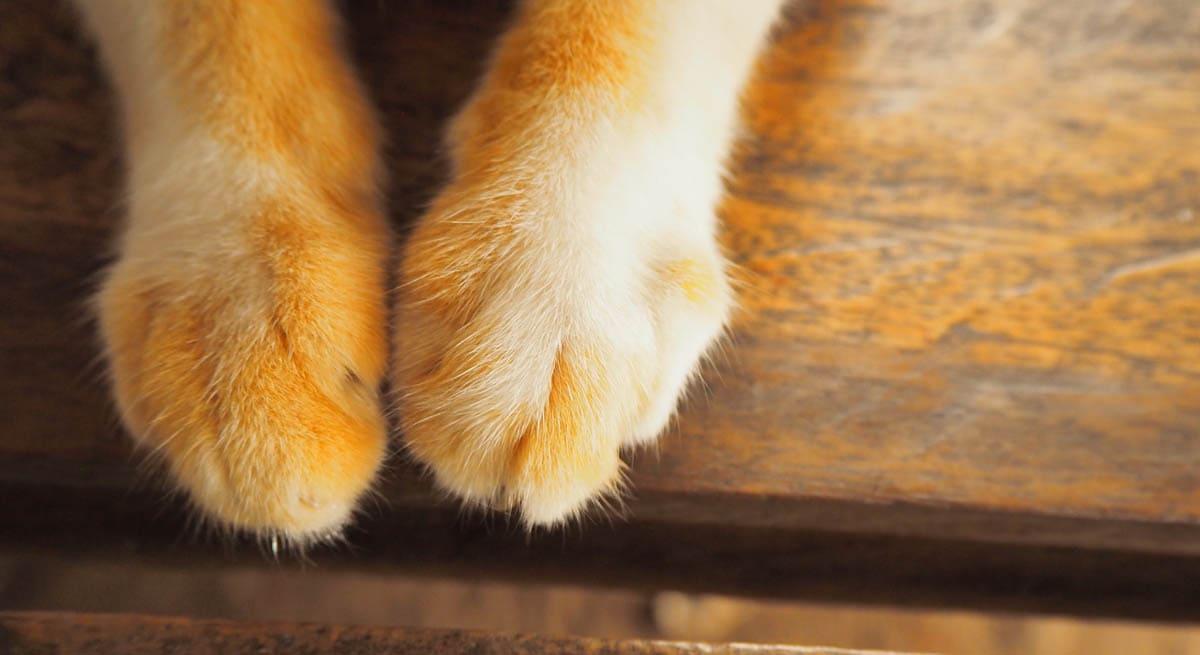 Swollen cat paw