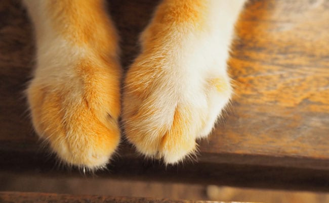 Swollen paw in cats