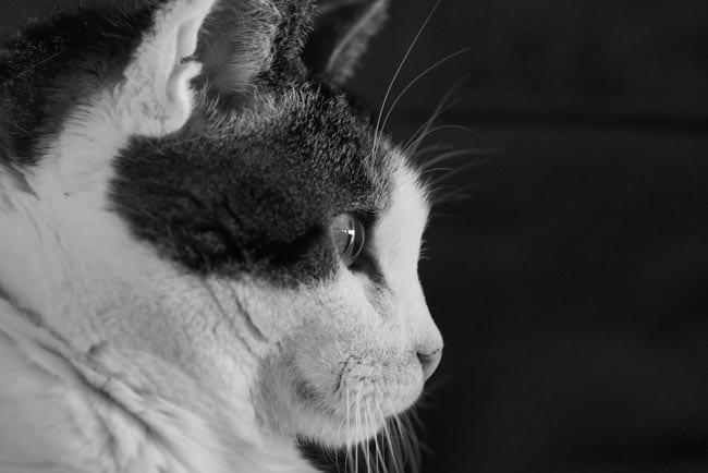 Feline acquired symmetrical alopecia