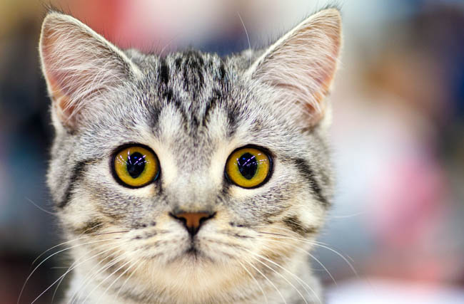 Why do tabby cats have an M on their forehead?
