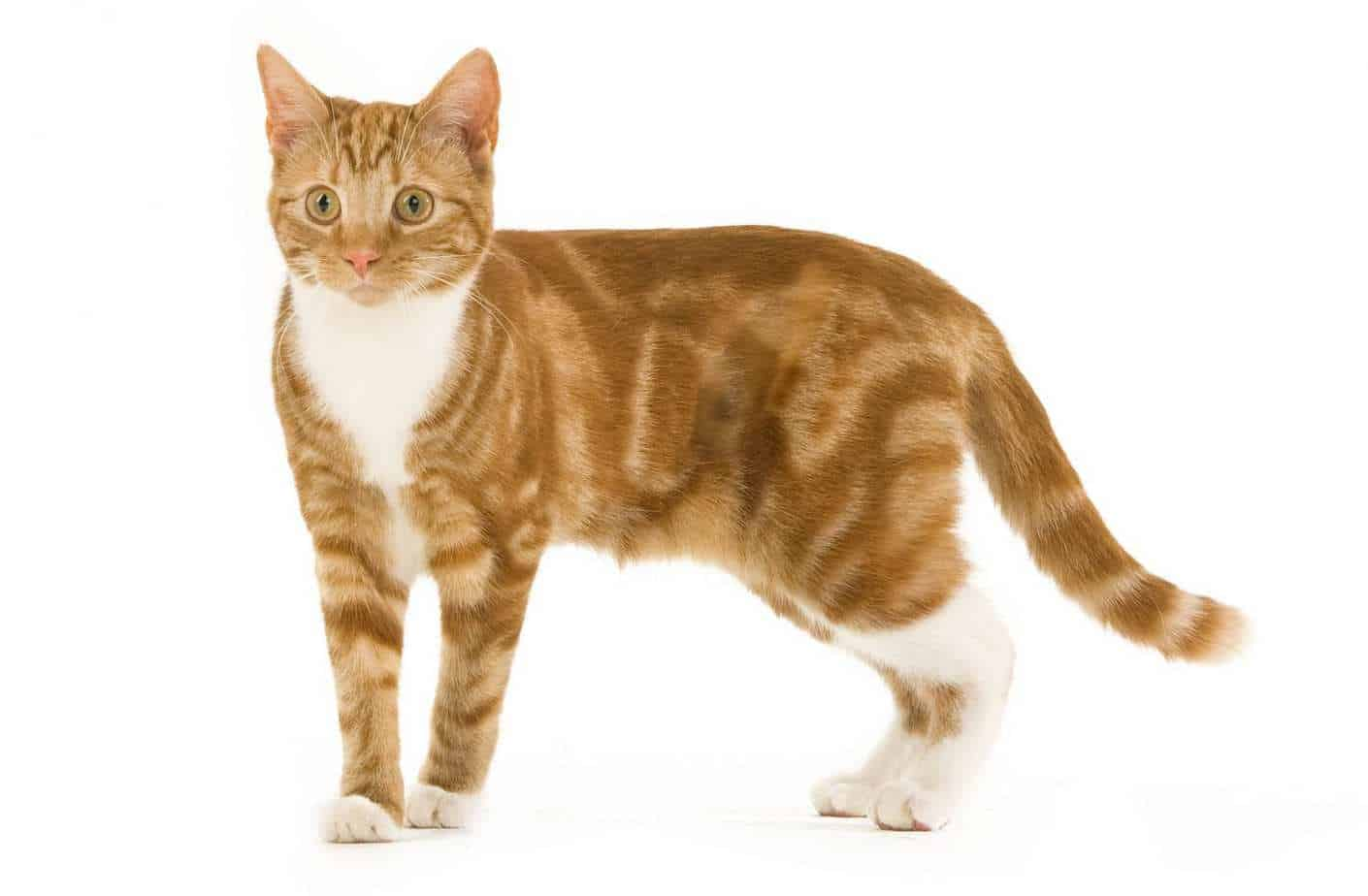 Tabby Cats - Colours, Markings and Breeds of Tabby Cat