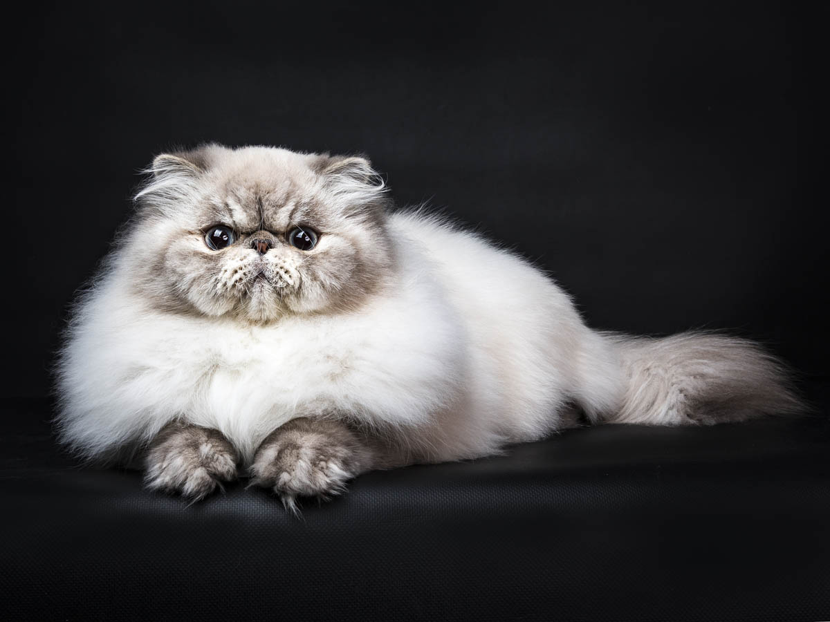 Tabby point Himalayan cat