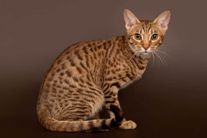 Brown spotted tabby