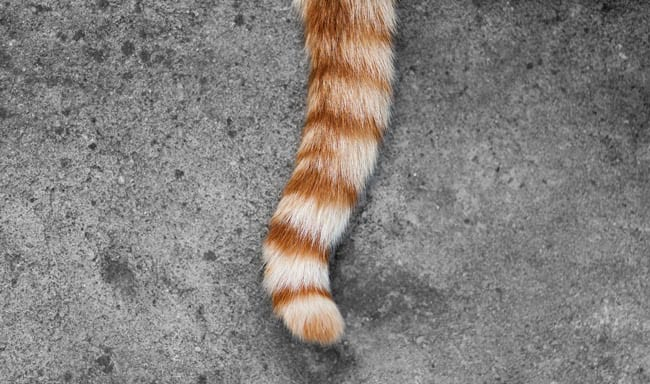 Tail amputation in cats