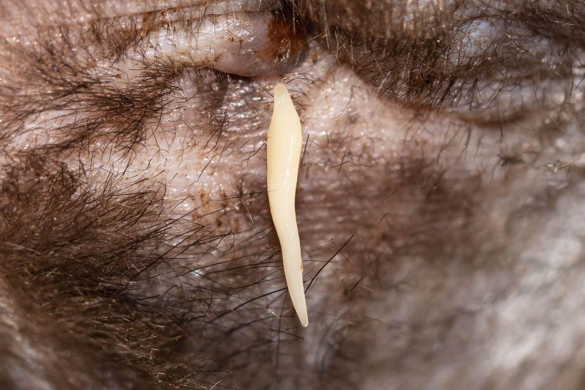 Tapeworm proglottid