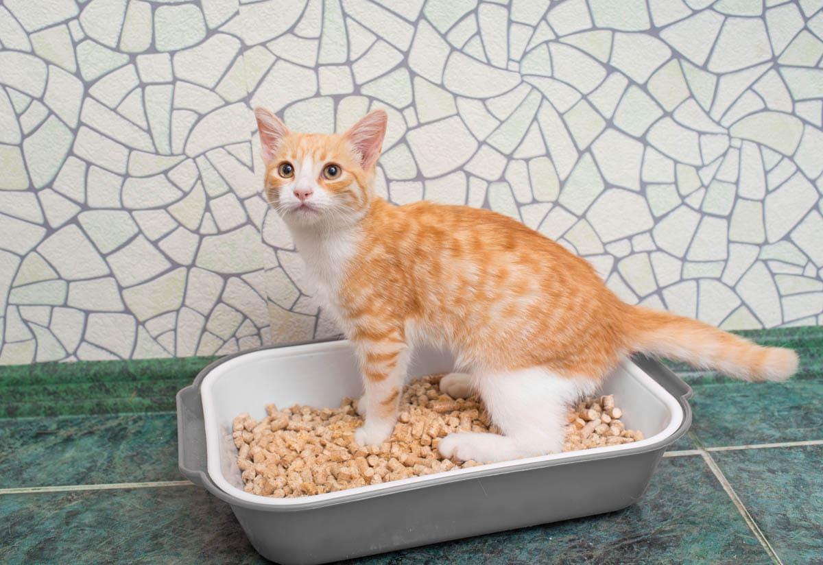 Toilet training a kitten