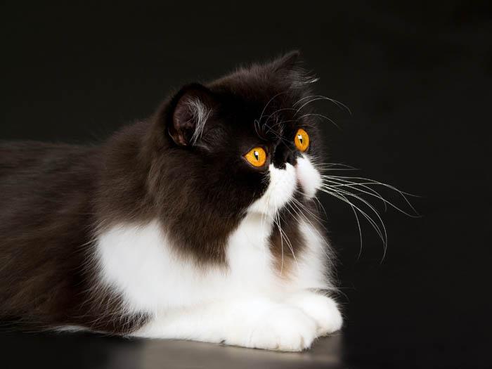 Tuxedo Persian cat