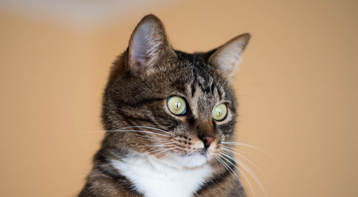 Vaginal discharge in cats