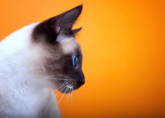 Vaginitis in cats