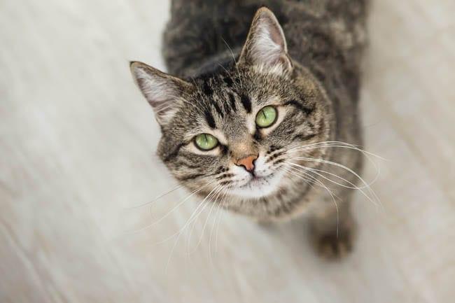 Walking dandruff in cats