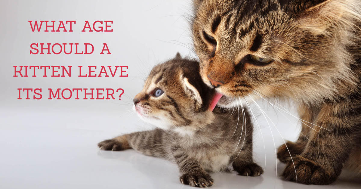What age should a kitten leave its mother?