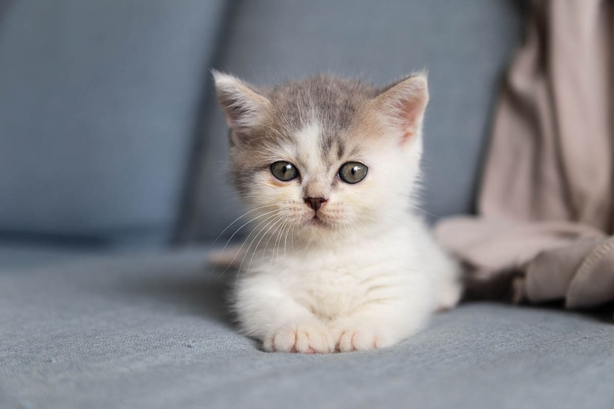 What age should you adopt a kitten?
