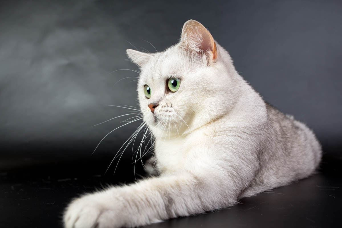 When should a cat be spayed or neutered?
