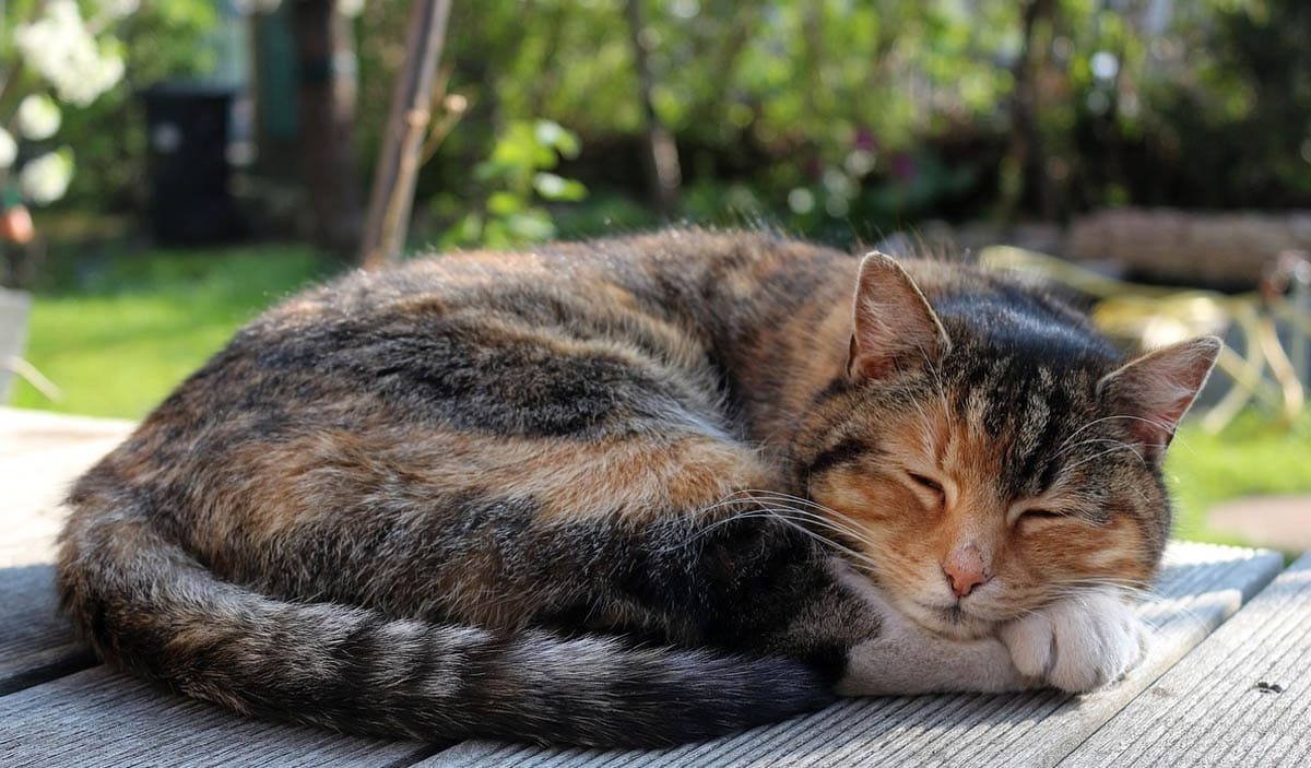Why do cats sleep curled up?