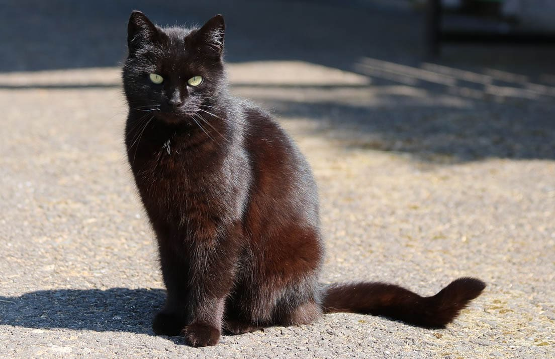 Why does a black cat's coat turn red?