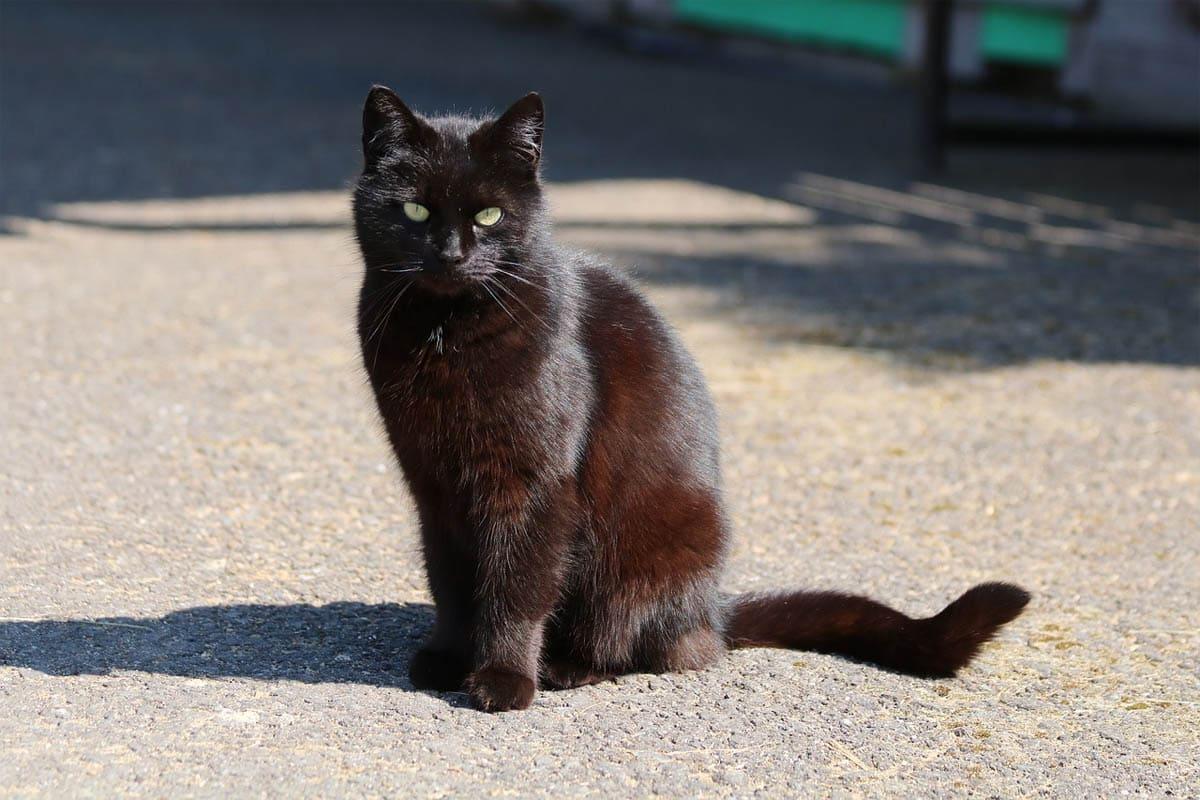 Black cat coat turning red
