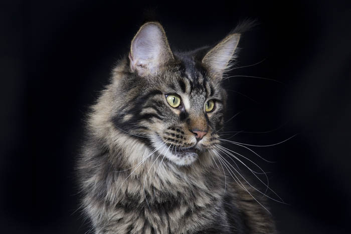About the Maine Coon