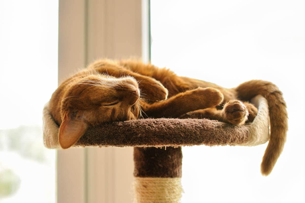 Abyssinian cat sleeping