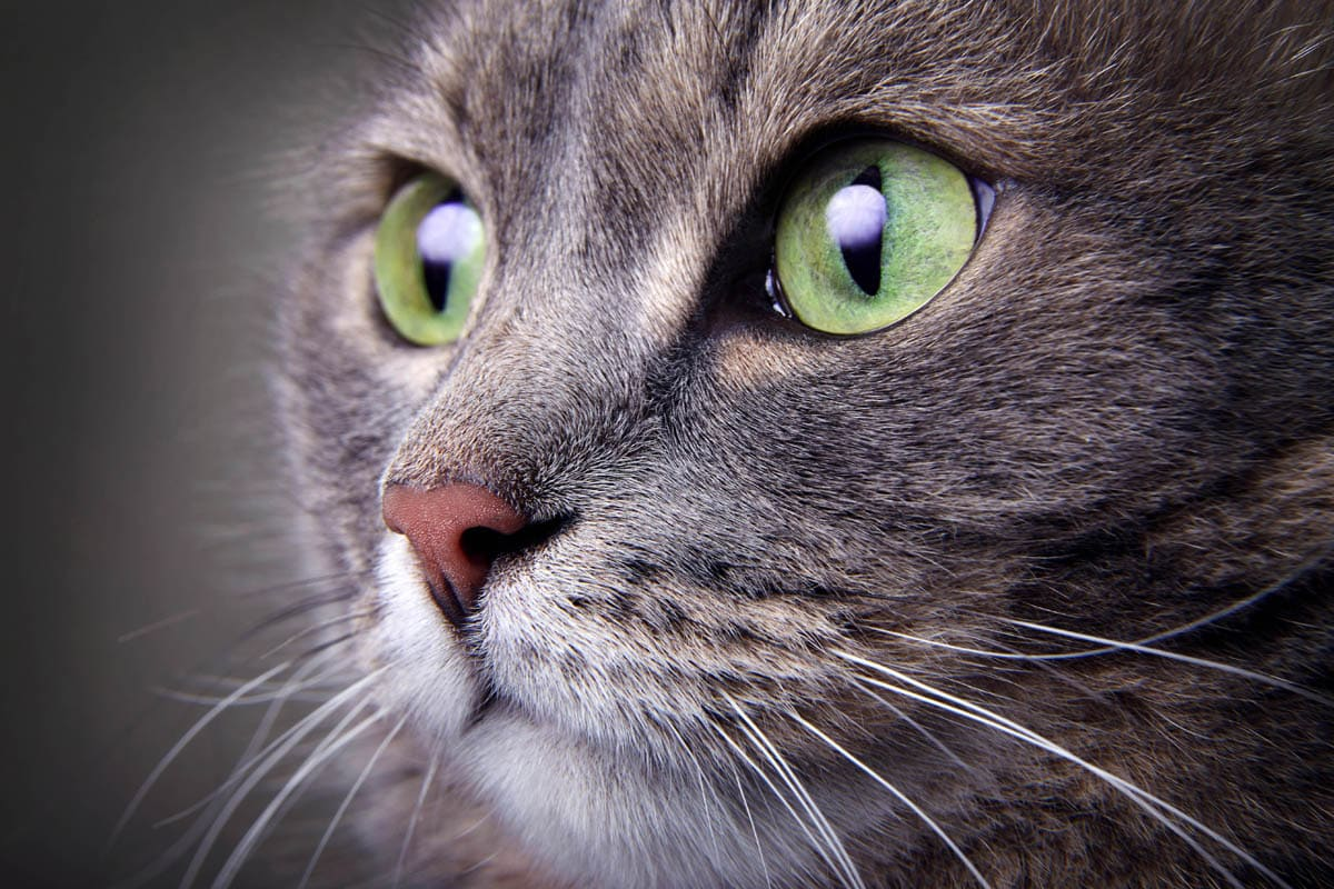 Anaphylaxis in cats