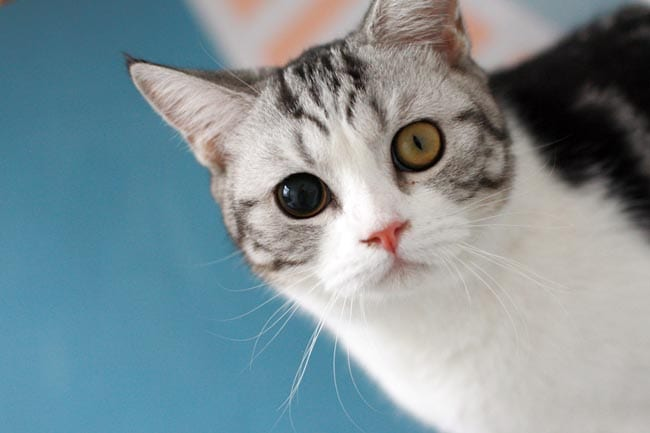 Odd-sized pupils (anisocoria) in cats