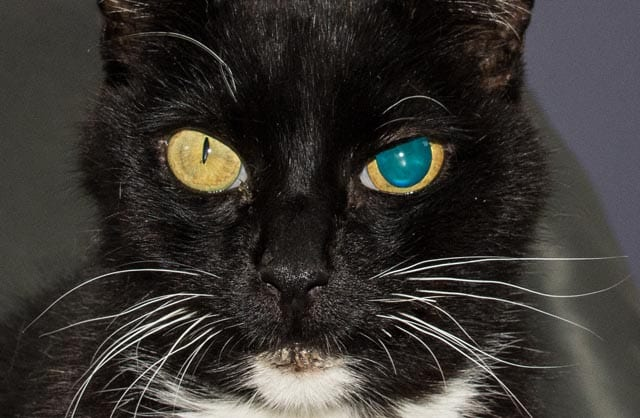 Anisocoria in cats