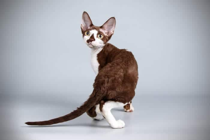 Bi-colour Devon Rex cat