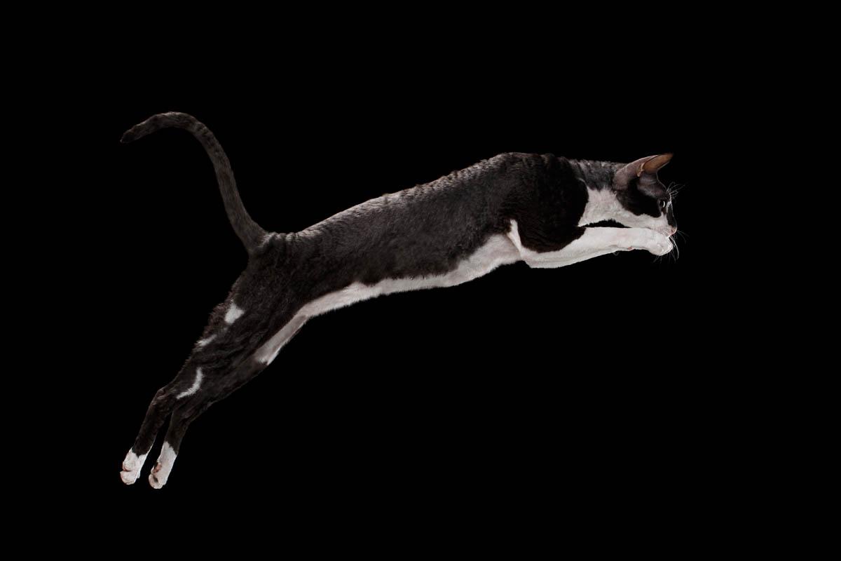 Black and white Cornish Rex jumping