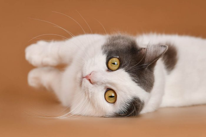 Blue and white munchkin cat lying on its side