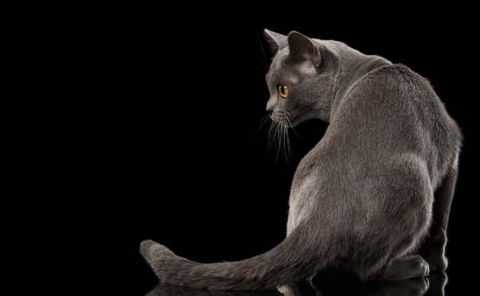 Blue Burmese cat