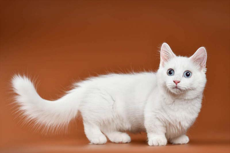 Munchkin Cat Breed Profile History Personality Health Cat World