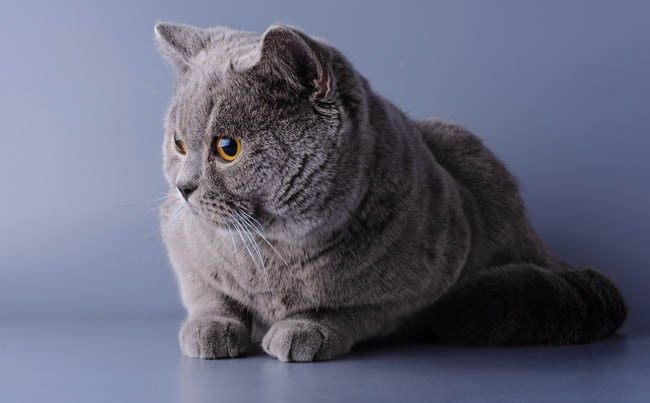 Blue British shorthair