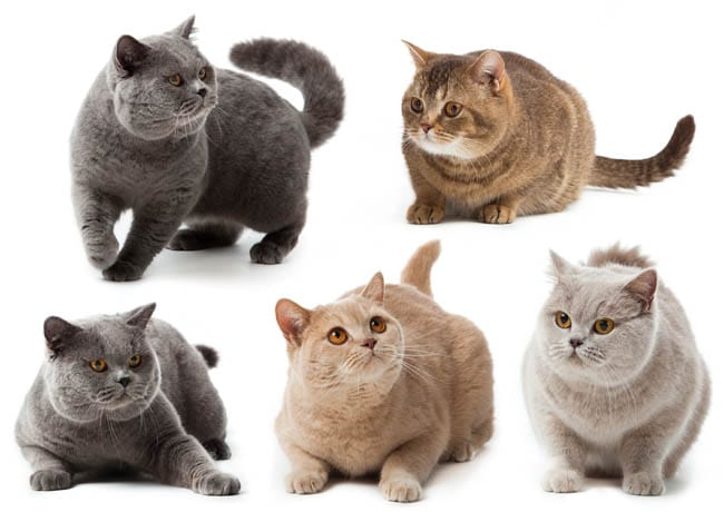 British shorthair colours