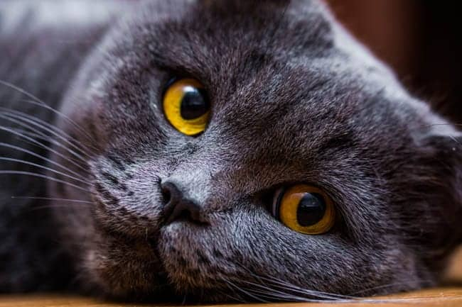 Close up of British Shorthair cat