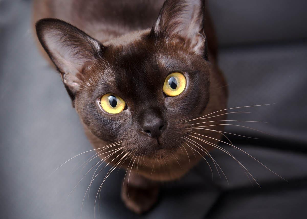 Brown (sable) Burmese cat