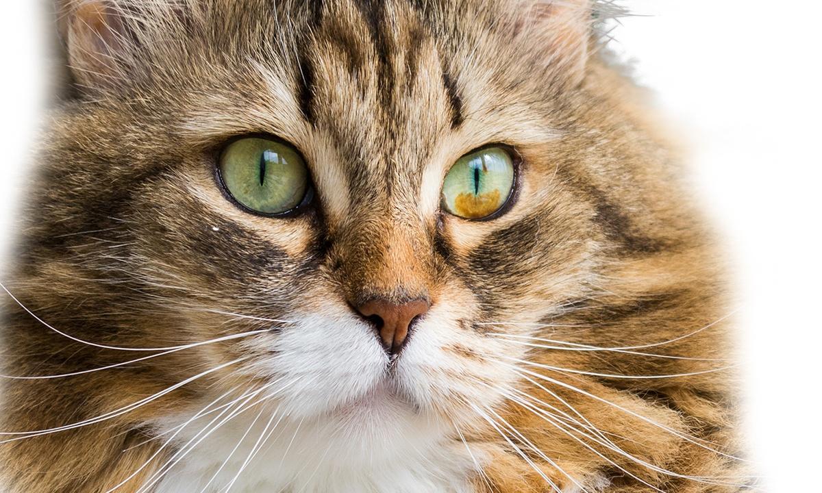 Brown spots in cat's eye