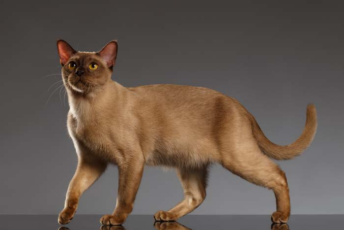 Chocolate (champagne) Burmese cat