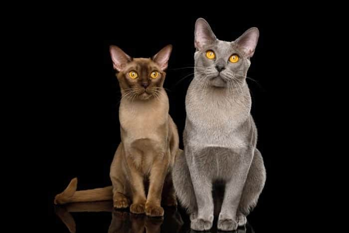 Chocolate and blue Burmese cats