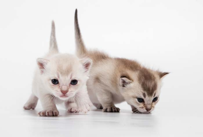 Burmilla kittens