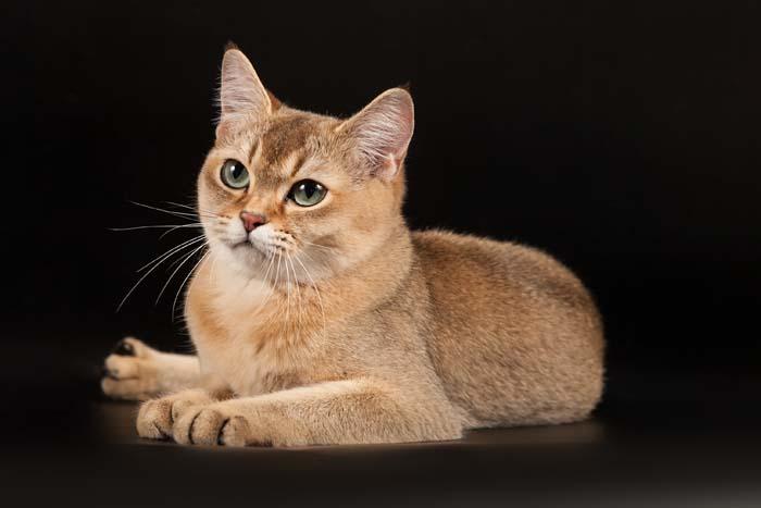 Golden Burmilla cat