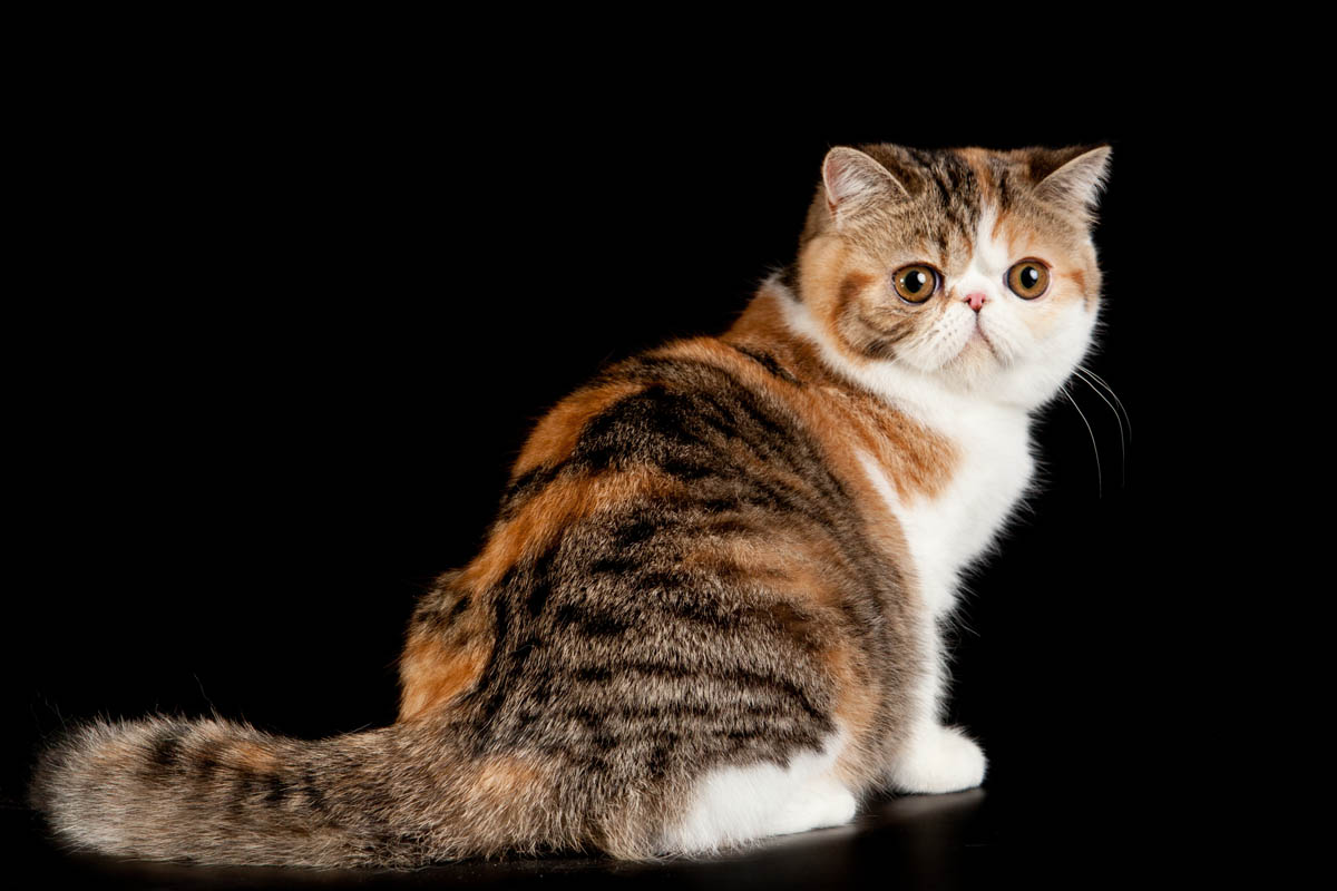 Caliby exotic shorthair